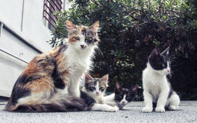 Colonias de gatos y método CES